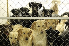 Mostly Lab Day (Back in the Pack) Tags: dog calgary dogs smile face look fence puppy intense lab jake faces ben head lola olive ivy mango heads labs stare getty roxy winston kona lupin mostly gettyimages maddox dogdaycare charliel wwwdogdaycareca rubyf abigfave impressedbeauty labrdorable labtastic wwwbackinthepackca albertabarks
