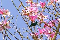 Purple sunbird on an orchid tree