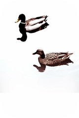 Estanque IV (Payuta Louro) Tags: patos