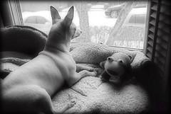 Piglet-n-Friend (bazl) Tags: chihuahua piglet dirtywindow nikond80 sockfrog gettingalittlefatroll