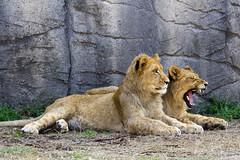 Yawn #4