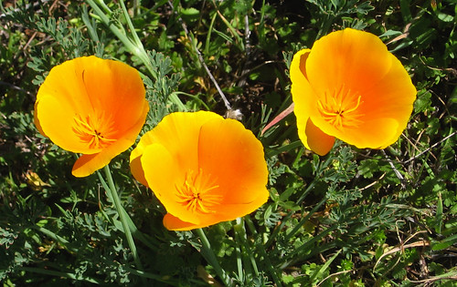 Great year for poppies