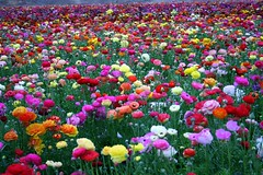 Spring has sprung (FrogMiller) Tags: california ca trip family flowers flower color colour colors beautiful spring flora colorful colours ranunculus colourful macros multicolored carlsbad flowerfields robertmiller