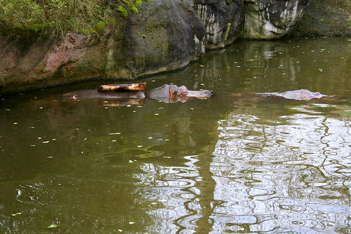 Hippo at Seattle Zoo - We called him Loggy
