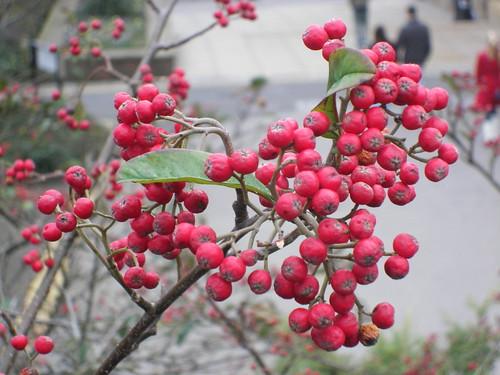 red balls: pyracantha