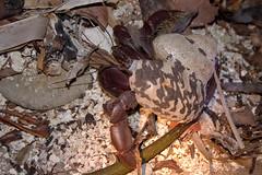 Coconut Mugger