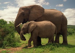 baby and adult elephants