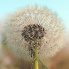 Pissenlit (Lolo_) Tags: fleur dof dandelion pissenlit pusteblume dentdelion