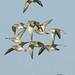 chorlitejos dorados y archibebe oscuro en vuelo - daurades i gamba roja pintada en vol - Eurasian golden plover and  Spotted Redshank (Tringa erythropusin) flight