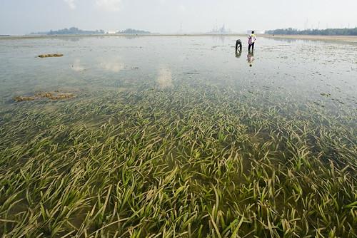 seagrass at semakau