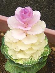 Brassica oleracea var.acephara