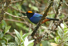 Golden-crowned Tanager (Michael Woodruff) Tags: bird southamerica birds ecuador nw birding 2007 tanager goldencrowned yanacocha fbwnewbird fbwadded temperateforestiridosornisrufivertex goldencrownedtanager iridosornis iridosornisrufivertex yanacochareserve