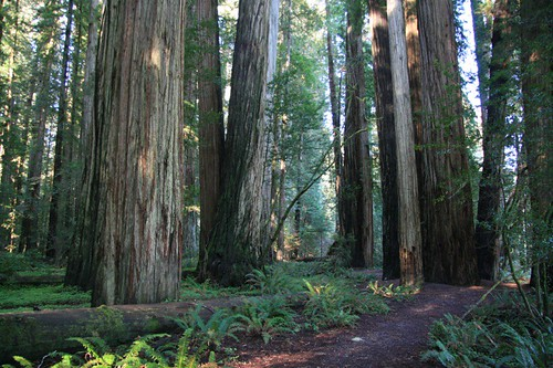 Redwood Forest Grove