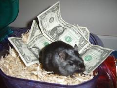 Gerbil's Horde (CaptiveBeauty) Tags: pets gerbil captivebeauty