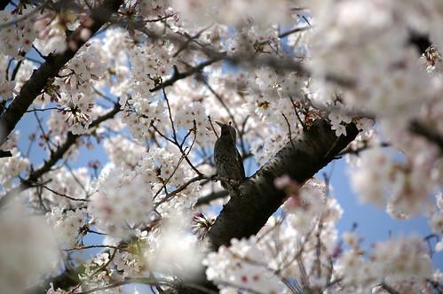 """桜 Sakura """"Cherry Blossoms"""" and bird ... by airthru.takashi."""
