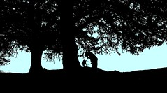 Yew silhouette - by suesviews