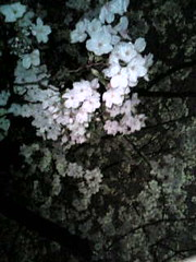 YO-ZAKURA, night cherry blossom