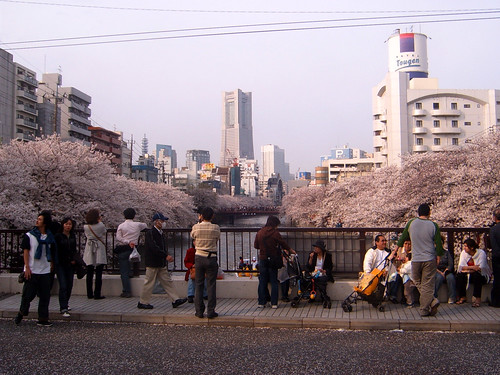 People enjoying sakura tree flowers
