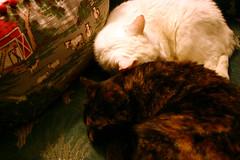 two curlers (lawatt) Tags: sleeping white cat sophie tortoiseshell louise cushions