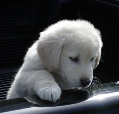 Sully (No_clever_names_left (Michael Lawrence)) Tags: goldenretriever puppy mix rescued greatpyrenees jesters explored anawesomeshot impressedbeauty lamanchaanimalrescue 612weeksold