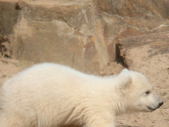 Knut at Berlin Zoo