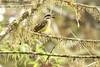 Golden-crowned Flycatcher (Michael Woodruff) Tags: bird southamerica birds ecuador birding flycatcher goldencrowned myiodynastes goldencrownedflycatcher myiodynasteschrysocephalus nwecuador oldnonomindord nonomindo