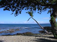 Big Island Palm Tree