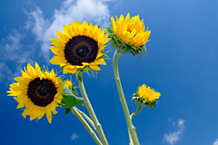 Sunflowers &  Blue Sky (Cooriander) Tags: blue sky yellow clouds catchycolors happy spring nikon bluesky swedish explore 1870mmf3545g sunflowers d200 frontpage psk itsspring blueyellow svenskt superhearts svenskafrger ultrashot explore200704xx18