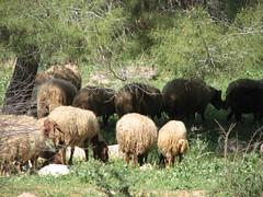 sheep near Shani (saultakesphotos) Tags: canon israel spring desert sheep goats saul negev davis herd shani bedouin pesah canonpowershots3 benqish sauldavis