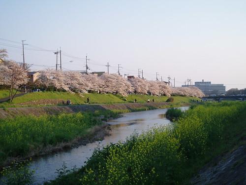 鴨川桜20070409 045
