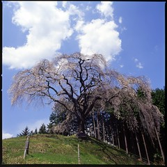 big weeping cherry tree (HASSELBLAD 500C/M) (potopoto53age) Tags: flowers plant flower tree 6x6 film japan cherry 50mm big kodak hasselblad brownie ektachrome e100vs weeping cherrytree yamanashi distagon hassel carlzeiss hasselblad500cm helluva kodakektachromee100vs makioka treesubject carlzeissdistagon50mmf4