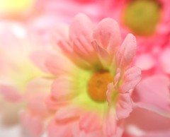 Lensbabies daisy (MeraM) Tags: pink flowers plant flower nature floral lensbaby outdoor houston vegetation canoneos lensbabies20 cotcbestof2006