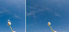 floating   detail (barbara) Tags: blue sky himmel blau verblht lwenzahn pusteblume feen