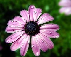 noname (f-m-h) Tags: 2 detail nature wasser blume makro blte farbe regen wassertropfen regentropfen