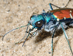 Cicindela splendida (splendid tiger beetle) view 2: Headshot (tigerbeatlefreak) Tags: bug insect tiger beetle headshot clay beast predator banks splendid arthropod coleoptera loess cicindelidae leftoverright