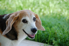 Incredibeagle (Lisas Lounge) Tags: dog beagle smile apr elway 2007 seniorwoofs