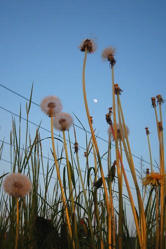 Dandelion in the sky II
