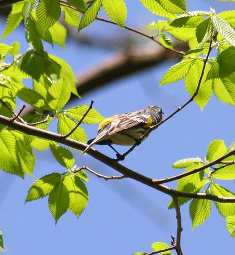 yellow-rumped warbler 04