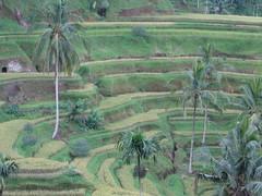 Bali Tegal Lalang (Christine Poh Collection) Tags: bali kintamani