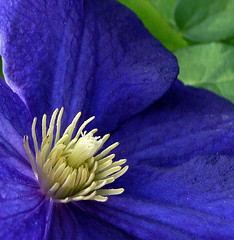 Blue dress and crown (Marie Eve K.A. (Away)) Tags: blue plants flower macro closeup flora clematis deep petal soe excellence flowerotica impressedbeauty flowercolors diamondclassphotographer flickrdiamond flowerpicturesnolimits