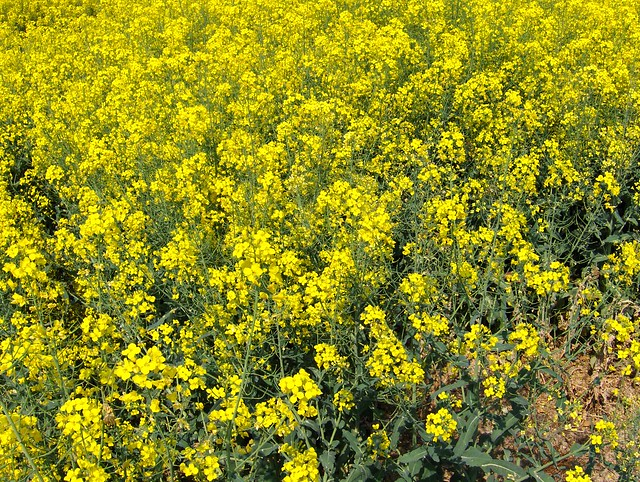 rapeseed flower, canola flowers