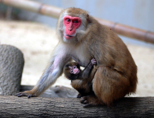 Japanese monkey , Everland zoo by floridapfe.