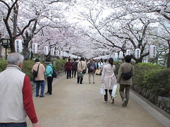 Approach to Tsurugaoka Shrine (ranicas) Tags: flower japan cherry kamakura   sakura cherryblossoms  2007