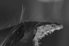 Lifting Strands (brucetopher) Tags: milkweed seed pod dry husk release hair hairs strand delicate lift curve sway dance black white blackandwhite bw blackwhite monochrome tone tones