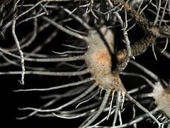 Usnea sp. (matofaungato) Tags: licheni usnea lichene