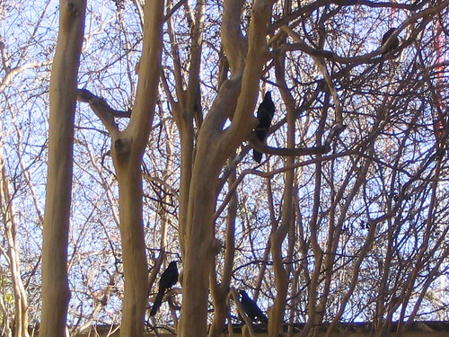 Black Birds in Tree