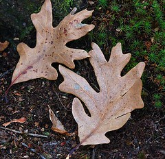 White Oak leaves in the winter