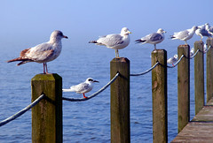 they wondered why lucius was late (JKnig) Tags: wood summer water birds bay dock 6ws seagull northcarolina symmetry outerbanks tern whathappened ilovedhowtheseagullsallsatontheposts andthet