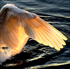 Flight of Fancy (algo) Tags: england water photography swan topf50 bravo searchthebest quality topv1111 topv999 wing feathers feather best backlit algo topf100 topv50 magicdonkey tringreservoirs searchthe specanimal specanimals animalkingdomelite abigfave anawesomeshot colorphotoaward impressedbeauty backlght 200750plusfaves 200750plusfavesfebruarycontest