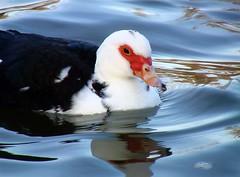 Peaceful Mrs Duck (Jean-christophe 94) Tags: red white black reflection animal duck blueribbonwinner jc94 jeanchristophe94